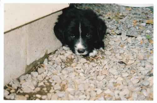 Snorri puppy